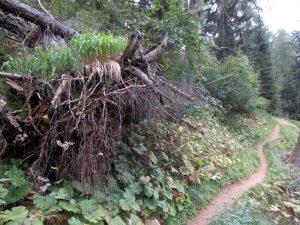 Verso rifugio Pramper albero